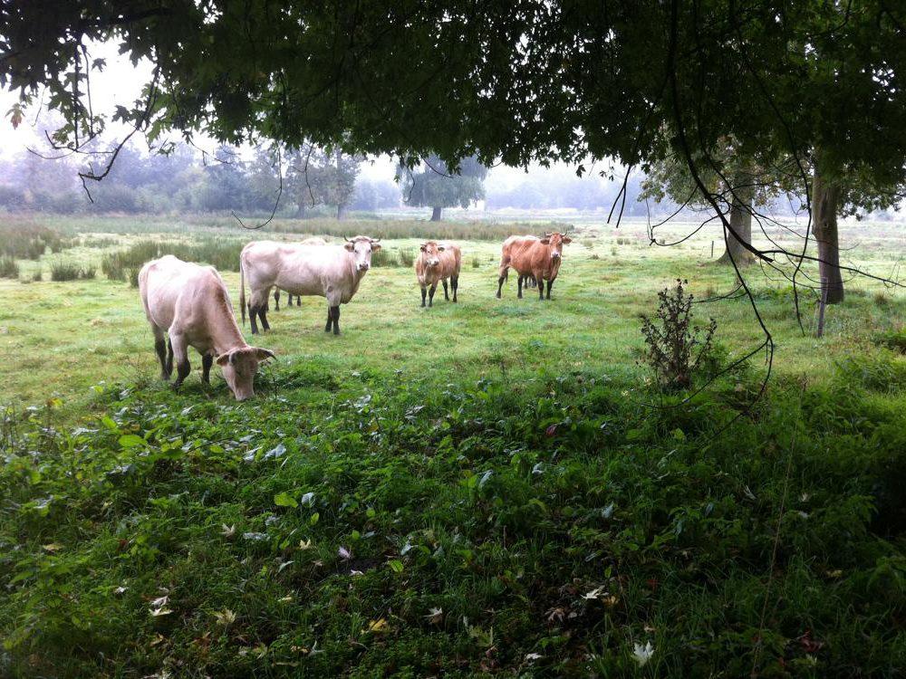 Blonde Aquitaine koeien IMG_2143
