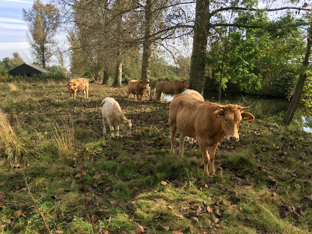 Blonde d'Aquitaine koeien